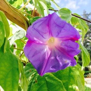 Morning Glory_Ka Malana's Garden