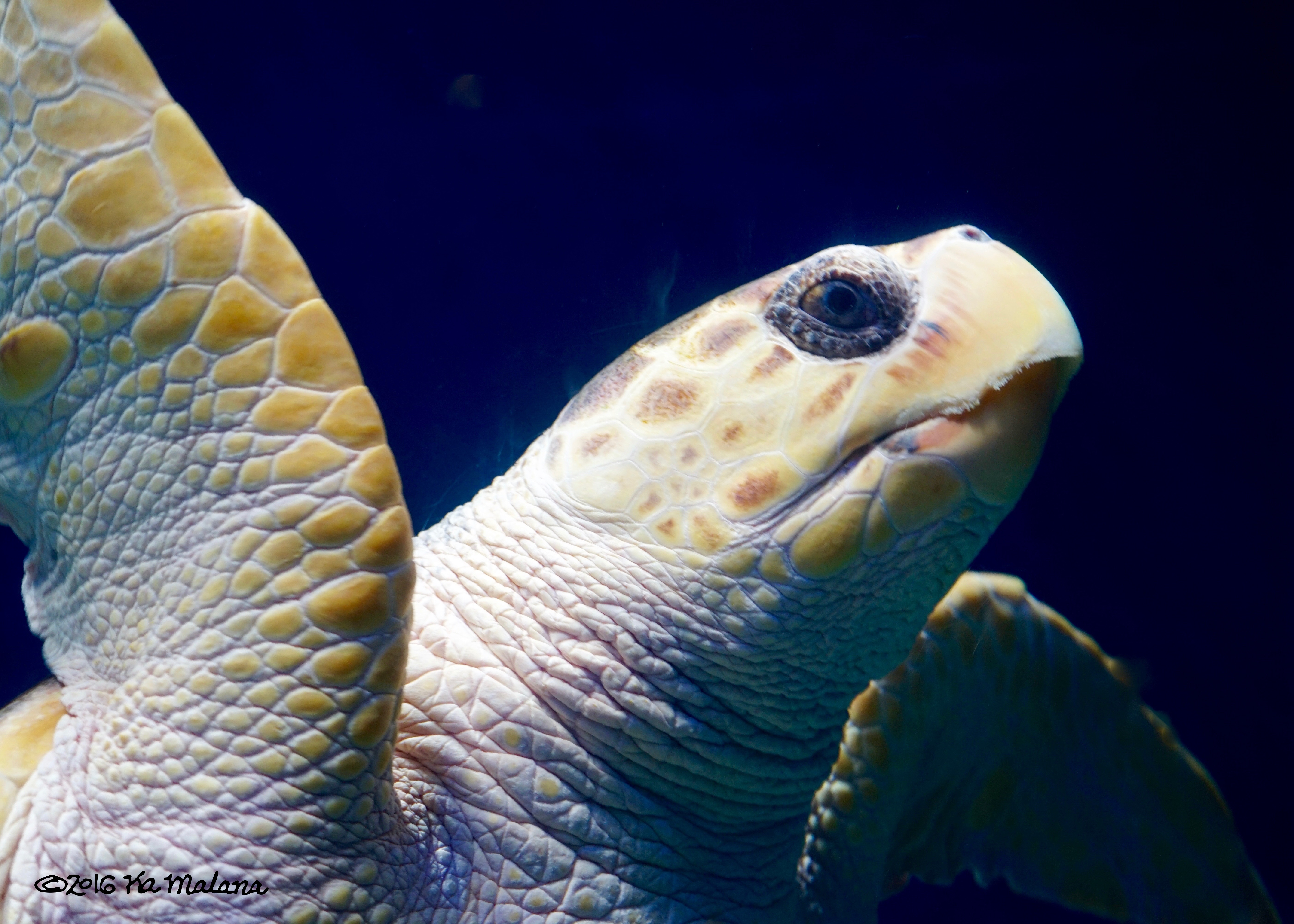 Blue-eyed SeaTurtle