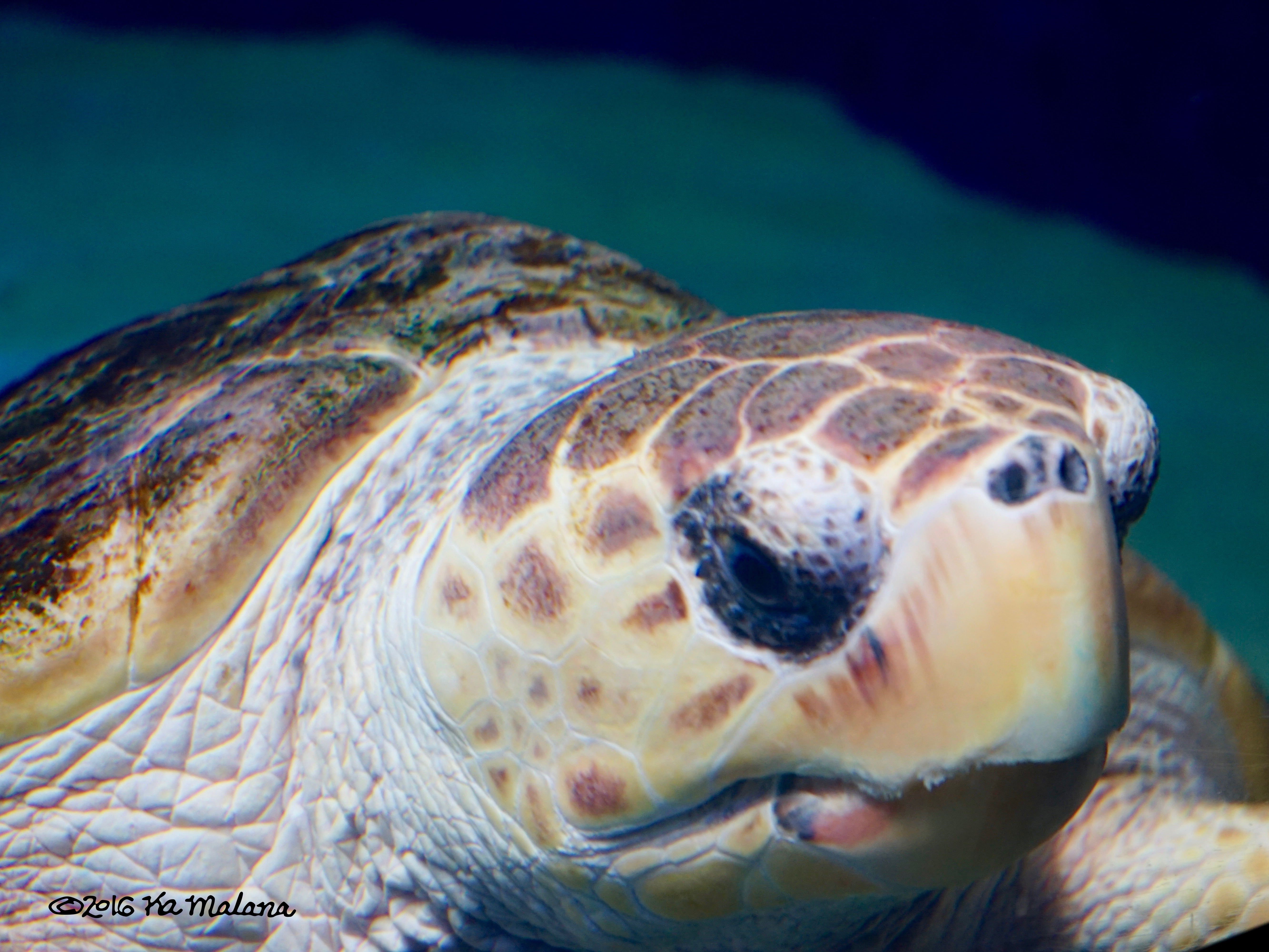 SeaTurtle Face